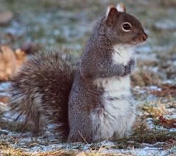 Grey fox squirrel - photo#25